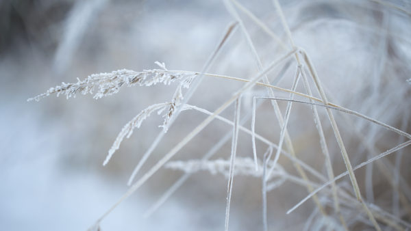 Close up of winter dry grass with hoarfrost