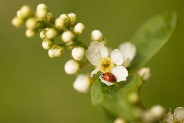 Ladybird on a Bird cherry flower, vivid green background