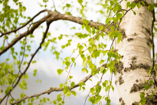 Birch trunk and branches with new vivid green leaves
