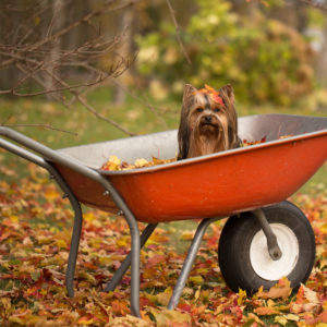 Small dog sitting in a red wheelbarrow with autumn leaves