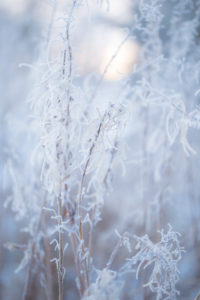 Close up Of Dried Willow Herbs With Hoarfrost In Winter Sunny Morning