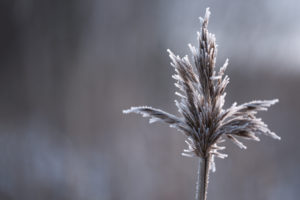 Close up of reed with ice crystals