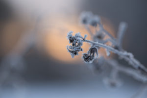 Beautiful dry plant covered with frost, sunny background