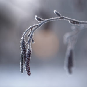 Close up of Alder catkins with ice crystals