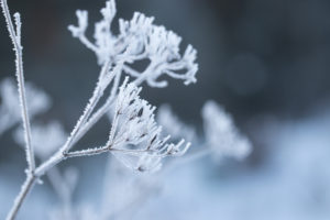 Rime covering dry plant in frosty morning