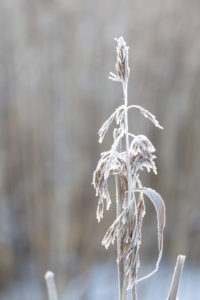 Single reed covered with hoarfrost in close up