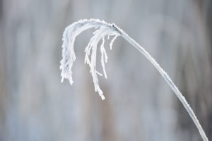 Winter white reed covered with hoarfrost in close up
