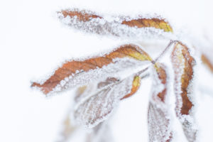 Close up of frozen dry leaves with snow and ice crystals