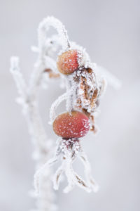 Close up of rose hip with snow and ice crystals