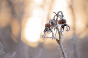 Rose hips with snow and ice crystals in winter sunset background