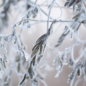 Close up of winter dry leaves with ice crystals