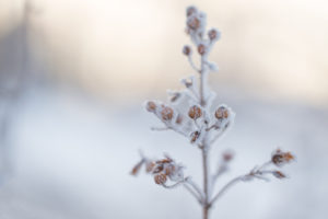 Close up of winter dry plant with ice crystals