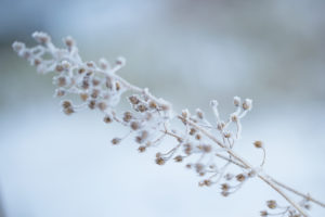 Hoarfrost on fragile plant in cold winter day