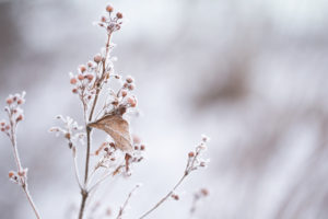Beautiful Dry Plant Covered With Hoarfrost