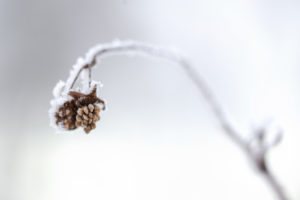 Frosted Raspberry Bush Twig In Closeup