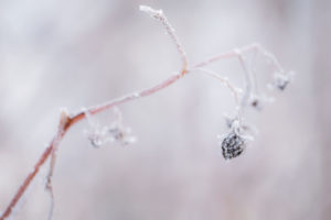 Closeup Of Frosted Raspberry Bush Twig With Berry