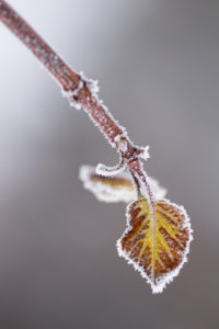 Closeup Of Beautiful Little Leaf Covered With Hoarfrost
