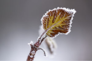 Beautiful Leaf Covered With Hoarfrost In Closeup