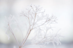 White and Fragile, hydrangea plant twig with ice crystal