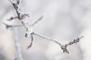 Apple Tree Branch Covered With Hoarfrost In Closeup
