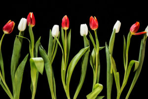White and red tulips in a line on a black background