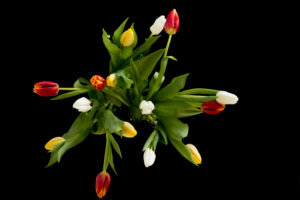 Colorful tulips in a vase on a black background