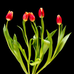 Yellow-red tulips on a black background