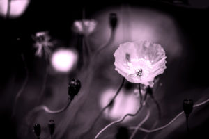 Poppies blooming, dark background