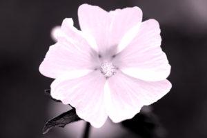Flower of Malva alcea