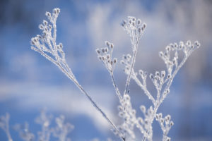 Beautiful ice crystal on dried plants on on a sunny day, blue background