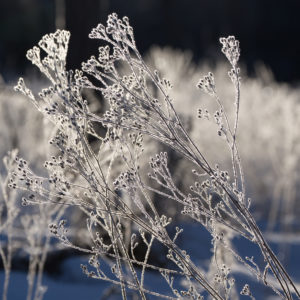 Ice crystal on dried plants on on a sunny day, dark background