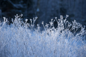 Ice crystal on dried plants with dark blue background
