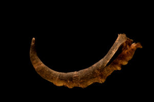 Antilope horn on black background