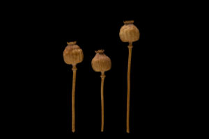 Dried poppy bolls on a black background