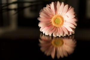 Pink Gerbera with reflection on a dark background