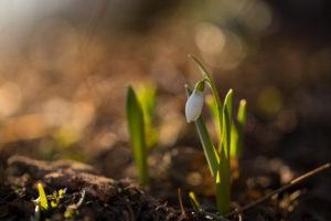 Snowdrop in spring morning