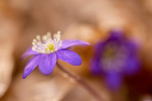 Close-up of hepatica (Hepatica nobilis) in beautiful natural light