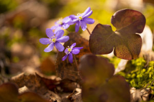 Hepaticas (Hepatica nobilis) bathing in sunlight