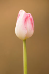 Beauty of spring, pink tulip