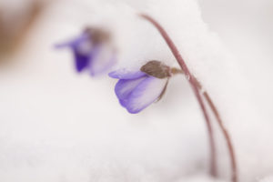 Close-up of hepatica (Hepatica nobilis) in the snow