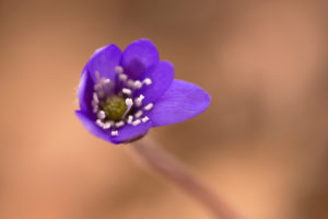Close-up of liverwort (Hepatica nobelis)