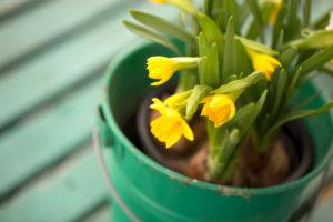 Flowering daffodils in a green tinplate bucket