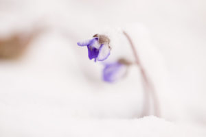 Close-up of snow-covered hepatica (Hepatica nobilis)