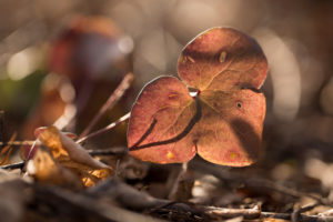 Liverwort leaf, Hepatica nobelis in sunlight
