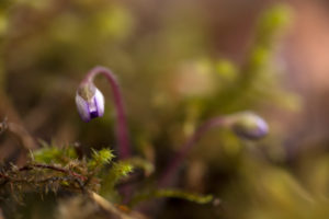 Liverwort bud, Hepatica nobelis in close-up