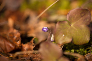 Liverwort, Hepatica nobelis bathing in sunlight