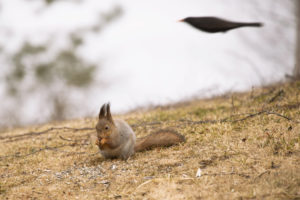 Red squirrell and black bird
