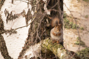 Squirrel sits on a birch branch