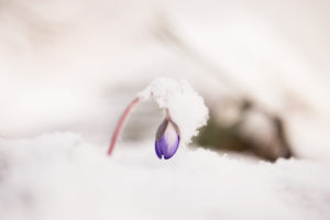 The winter came back, hepatica (Hepatica nobilis) in the snow