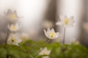 Wood Anemones on a cloudy day, Anemone nemorosa